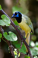 Green Jay