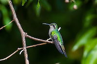 A Cuban Emerald (Chlorostilbon ricordii) female hummingbird, perched, showing nectar on her bill (Cuba).