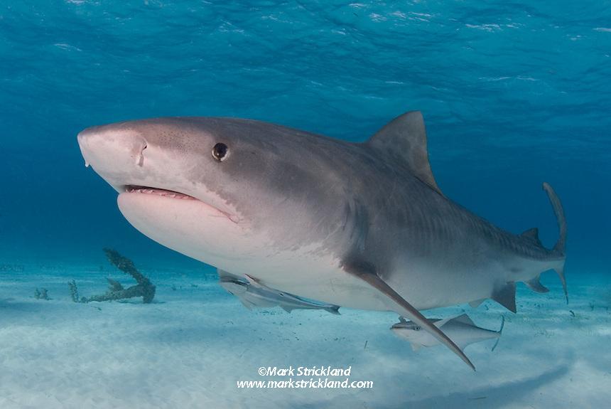 A large Tiger Shark, Galeocerdo cuvier, patrols the shallows of the Little Bahama Bank, Bahamas. Atlantic Ocean