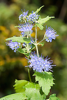 Caryopteris Sunshine Blue in bloom in September glarden