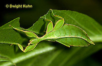 OR14-502z  Leaf Insect female, Phyllium spp., Phillipines