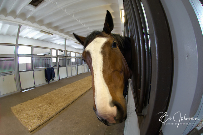 Five year old Saga (mare born 2003, Robin Z - Steve's Friend xx) is curious. In the big stable at Flyinge Stud Farm in southern Sweden.<br /> Flyinge, one of the oldest stud farm in the world, have been breeding horses since the 12th century. In 1661 Flyinge was appointed as a Royal Stud by King Karl X Gustav.<br /> Flyinge has a wide range of activities, including breeding of the Swedish Warmblood, equestrian sports, veterinary medicine, training and various events.<br /> April 2008.