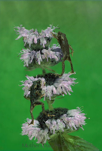 Two cricket frogs,  Acris creptans Blanchard,  race to the top of mint flowers