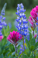 Wildflowers--Broadleaf Lupine and Magenta Paintbrush in subalpine meadow, Mount Rainier National Park, WA.  Summer.