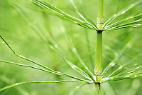 Segment of common horsetail, Longmire, Mount Rainier National Park, Washington, USA<br />