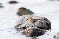 Norway, Rogaland, Hå. Bar-tailed Godwit.