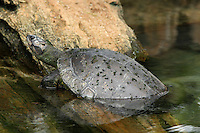 River turtles are found inhabiting freshwater environments all around the world from slow-moving rivers and streams to the calmer waters of ponds and lakes.