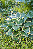 Hosta Northern Exposure with ornamental grass Carex elata 'Aurea'