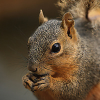 Whether they're considered tasty table fare, barnyard pests or adorably furry woodland creatures, squirrels can be found in every corner of Texas. With their trademark bushy tails and a penchant for tormenting backyard dogs, squirrels are a familiar sight in both urban and rural settings.