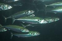 Europäische Makrele, Scomber scombrus, Atlantic mackerel, common mackerel