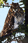 Short Eared owl, Asio flammeus, in tree braches, Hokkaido, Japan, Captive, alert, eyes, staring.Japan....