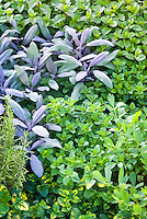 Herbs garden mixture, rosmarinus rosemary and salvia officinalis purpurascens purple sage, flat-leaf parsley Petroselinum, oregano Origanum, peppermint mentha, variegated lemon balm, variety