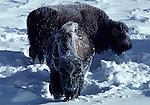 frosted bison in Upper Geyser Basin