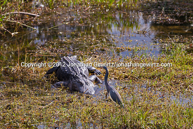 A Tricolored Heron (Egretta tricolor) walks in front of an American Alligator (Alligator mississippiensis) in a marshy area of a slough near the Anghinga Trail in Everglades National Park, Florida.