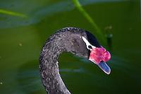 Black-necked swan, Morton Lake, Lakeland, Florida