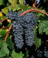 CABERNET SAUVIGNON WINE GRAPES ready for harvest