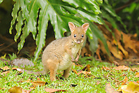 Red-legged Pademelon (Thylogale stigmatica) joey, Queensland, Australia