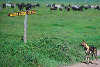 694207008 an endangered wild african wild dog lycaon pictus appears to read a road sign as is stands along a road with herbivores in the background and a radio collar on its neck in the serengeti in tanzania