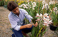 Nursery worker inspecting CYMBIDIUM ORCHID at ORCHID farm - SANTA BARBARA, CALIFORNIA