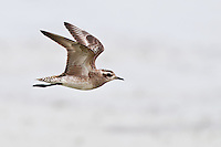American Golden-Plover in Flight