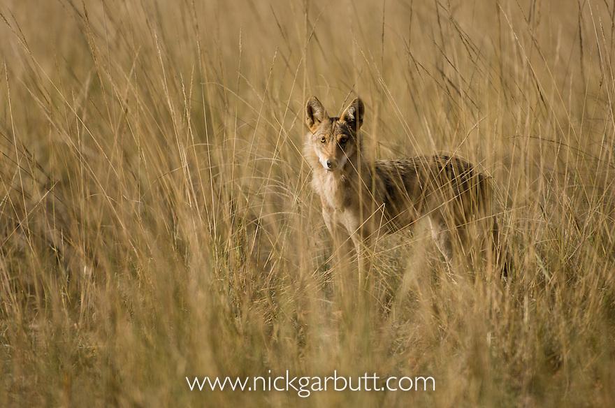 Indian Wolf (Canis lupus) beginning to stalk prey (Spotted Deer / Chital) through long grass. Bandhavgarh National Park, Madhya Pradesh, India.