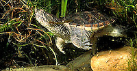 1R05-130z  Snapping Turtle -  swimming in pond - Chelydra serpentina