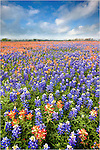 Driving down a dirt road near Whitehall, Texas, I found this amazing field of indian blankets and bluebonnets. What I didn't expect was all the bumblebees buzzing around the flowers. I worked quickly and minded my own business!