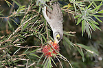 Noisy Miner Feeding on Bottlebrush flowers, Brisbane Australia.   //   Noisy Miner - Meliphagidae: Manorina melanocephala. Length to 28cm, wingspan to 180cm, weight to 59g. Endemic to Australia in coastal eucalytpus woodland from Townsville, Queensland to Adelaide, South Australia, also Tasmania. Common in urban and suburban areas. Feeds mainly on nectar and pollen from eucalyptus flowers. Noisy, prominent in the dawn chorus, may be social in flocks of 20-30 birds. Characteristic 'hawk' calls alert other species to the presence of a bird of prey; other (different) calls alert birds to the presence of domestic cats. Frequently gathers in noisy groups near snakes or possums found during the daytime, attracting other species 'to have a look.' Aggressive - will harass larger birds such as Crows and eagles to drive them away from their territory, and quickly becomes the dominant species in many ecosystems. IUCN Status: Least Concern.  //  Bottlebrush - Myrtaceae: Callistemon sp. Height to 5m, DBH 30cm, canopy diameter to 5m. 34 species endemic to Australia, four species found in New Caledonia. Flowers in spring and summer - mostly red, others white, pale green, mauve. Most species prefer moist conditions, but some occur in arid areas. Favoured by honeyeaters and lorikeets - species with a brush-tipped tongue adapted to gathering nectar and pollen.    //Dr Eric Lindgren//