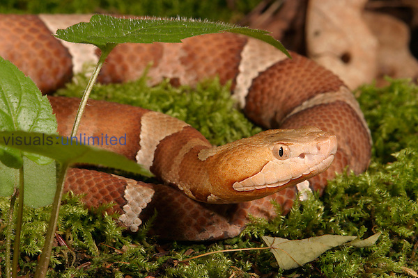 (Agkistrodon contortrix laticinctus).Broad Banded Copperhead...