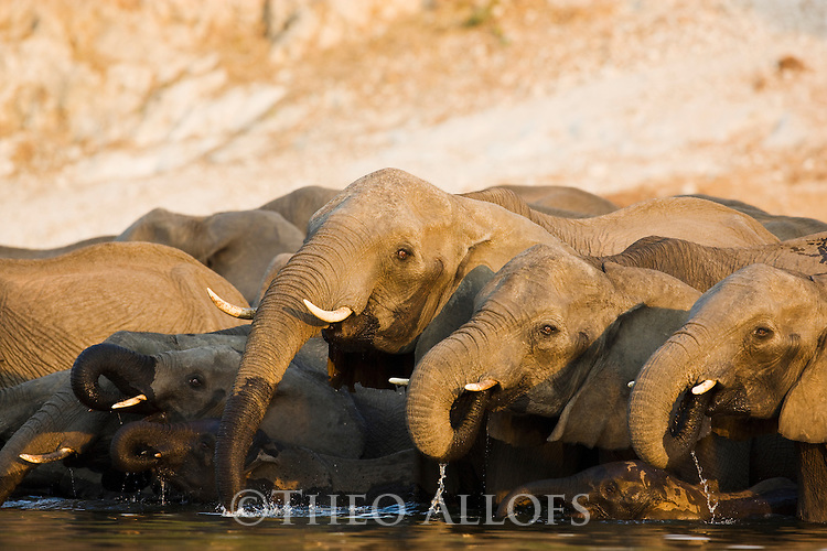 Elephant breeding herd drinking in Chobe River, Chobe National Park, Botswana
