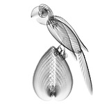 X-ray image of a parrot (black on white) by Jim Wehtje, specialist in x-ray art and design images.