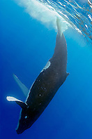humpback whale, Megaptera novaeangliae, slapping tail at surface or lobtailing, Hawaii, USA, Pacific Ocean