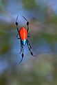 Longjawed Orb Weaver (Opadometa sp.) spider in web. Maliau Basin, Sabah, Borneo, Malaysia.