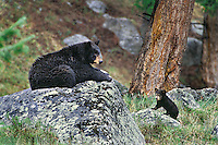BLACK BEAR (Ursus americanus) mother with young cub.  Western U.S., May.