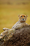 Cheetah lying on dirt hill