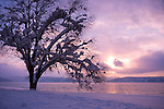 A snow flocked tree silhouetted by the soft winter light of a winters evening on Lake Coeur D' Alene, Idaho.