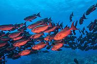 Glasseye Schooling. (Photo by Wildlife & Underwater Photographer Matt Considine)
