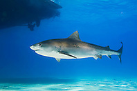 Tiger Shark, Galeocerdo cuvier, swimming under boat, West End, Grand Bahama, Atlantic Ocean