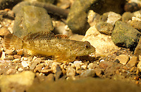 Sculpins Collection