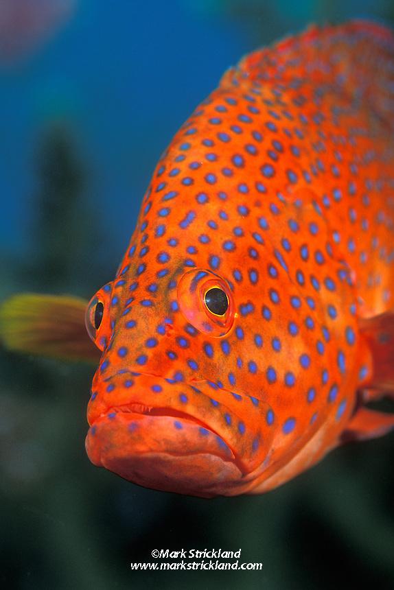 Ever curious, a Blue spotted grouper, Cephalopholis miniata, peers toward the lens. Similan Islands Marine National Park. Thailand,  Andaman Sea, Indian Ocean