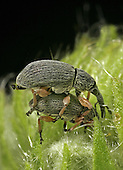 Hollyhock Weevil male and female pair mating (Apion longirostre), Family Brentidae, New Hampshire, USA