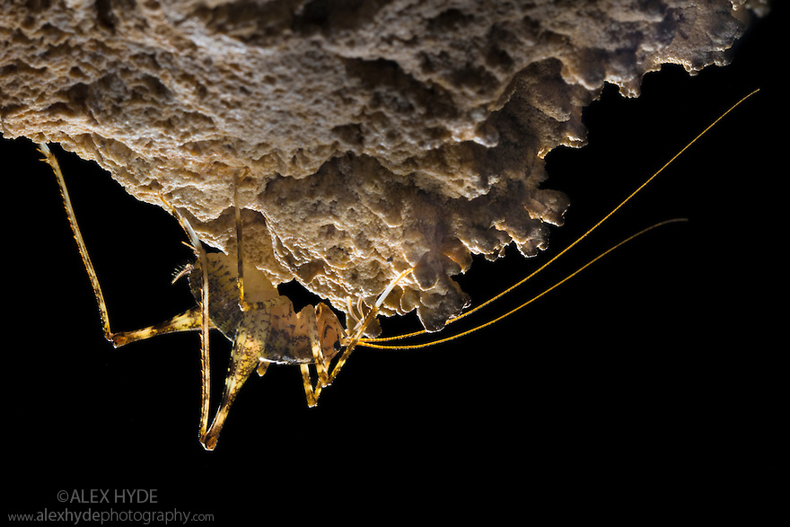 Cave Cricket male (Troglophilus neglectus) on the side of a stalactite in a limestone cave. Plitvice Lakes National Park, Croatia. November.