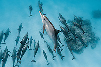 RZ0825-D. Spinner Dolphins (Stenella longirostris), pod swimming together in shallow water near offshore coral reef. Wide ranging tropical species with long thin beak, grows to over 7 feet long and nearly 200 pounds, feeds primarily at night on squid and fish. Egypt, Red Sea.<br /> Photo Copyright &copy; Brandon Cole. All rights reserved worldwide.  www.brandoncole.com