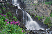 Waterfall and wildflowers in alpine meadow,Parry's Primrose,Primula parryi, Ouray, San Juan Mountains, Rocky Mountains, Colorado, USA, July 2007
