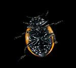 7 Spot Ladybird, coccinella septempunctata, showing underside, legs.United Kingdom....