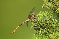 341700018 a wild male broad-striped forceptail aphylla angustifolia perches on a juniper bush in southeast metropolitan park travis county texas