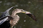Anhinga eating catfish, Anhinga anhinga, Everglades National Park
