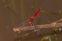 Scarlet Darter Dragonfly male (Crocothemis sanguinolenta), South Africa