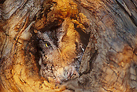 577990003 a wildlife rescue western screech-owl otis kennecottii perches in a cavity in a large tree limb in central colorado