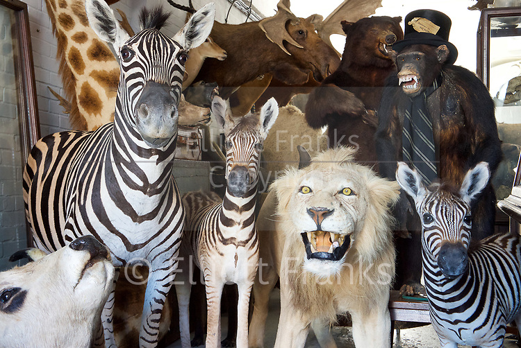 The Metropolitan Police have advised that a burglar who stole stuffed animals worth thousands of pounds has been sentenced 5th April 2017. <br /> Wimbledon, London, Great Britain <br /> <br /> The items stolen included stuffed lions, zebra and a chimpanzee in a top hat.<br /> Jason Robert Hopwood, 47 (07.11.1969) of Drummond Road, Romford, Essex was sentenced to 21 months' imprisonment, suspended for two years, at Kingston Crown Court on Tuesday, 4 April 2017 <br /> <br /> He was also ordered to work 200 hours' community service.<br /> He had pleaded guilty at an earlier hearing to burglary and fraudulent use of a registration plate.<br /> The court heard how on 1 March 2016, at around 19:30hrs, a burglary took place at a warehouse at the Wimbledon Stadium Business Centre, London, SW17.<br /> The thieves arrived in a van and used angle grinders to force their way into the premises.<br /> They then made off with antiques and 18 stuffed animals. The value of the items stolen was around &pound;100,000.<br /> Following a nationwide press appeal, an anonymous call was made to Crimestoppers. On 22 March 2016, Essex Police acting on the anonymous information, found the abandoned van in the Stapleford Abbots area in Essex<br /> It was noted that the van had sticky patches on the plates where false plates were believed to have been attached; the van contained all of the stolen animals.<br /> Jason Hopgood was identified as the owner of the van.<br /> He was questioned and stated that he had sold the van to someone and knew nothing of any burglary.<br /> However in the van the police had found a parking ticket issued on the day of the burglary. It was issued outside Hopwood's home address to the fake number plate.<br /> Also by phone and Automatic Number Plate Reader (ANPR) analysis, it was established that Hopwood had driven the van down to the scene of the burglary the day before the crime.<br /> It was also established that he had driven the van to the scene again on the d